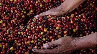 Giá cà phê hôm nay 11/2: Giá giảm so với trước Tết