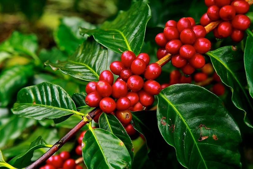 Giá cà phê hôm nay 12/2: Giảm mạnh 500 đồng/kg
