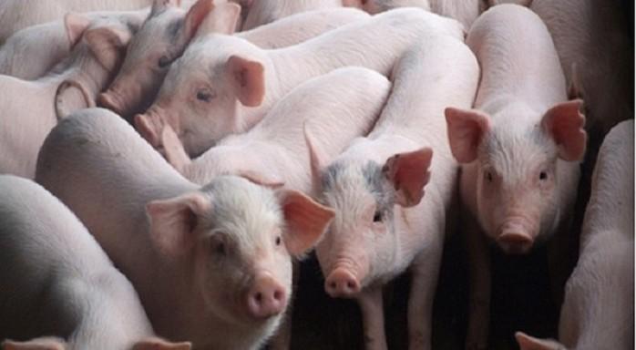 Giá heo (lợn) hơi hôm nay 2/3: Miền Nam giảm tới 5 giá, miền Bắc ổn định ở mức thấp