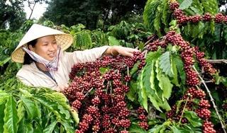 Giá cà phê hôm nay 13/2: Tăng nhẹ 100 đồng/kg