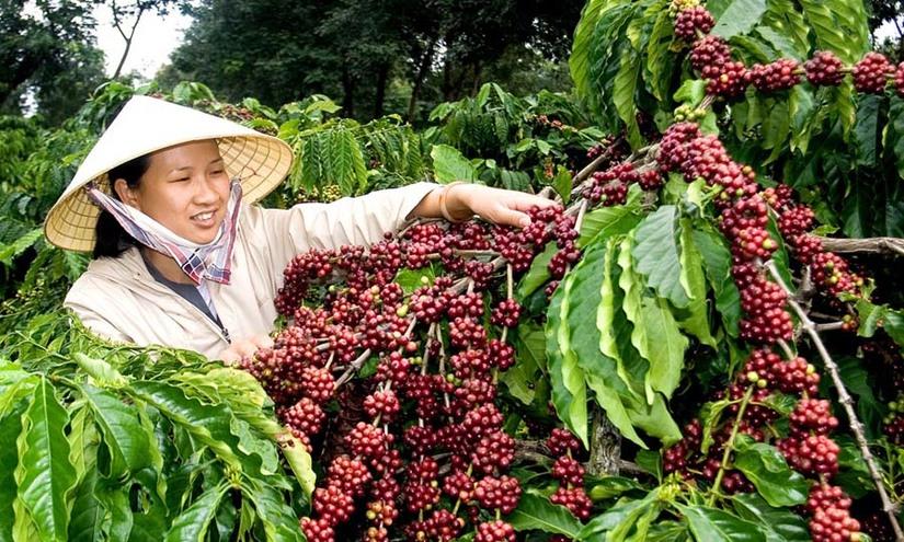 Giá cà phê hôm nay 13/2: Tăng phục hồi nhẹ 100 đồng/kg