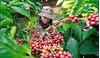 Giá cà phê hôm nay 15/2: Thị trường chững lại