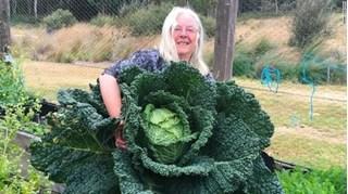 Vợ chồng người Úc trồng được cây cải bắp khổng lồ nặng hàng chục kg