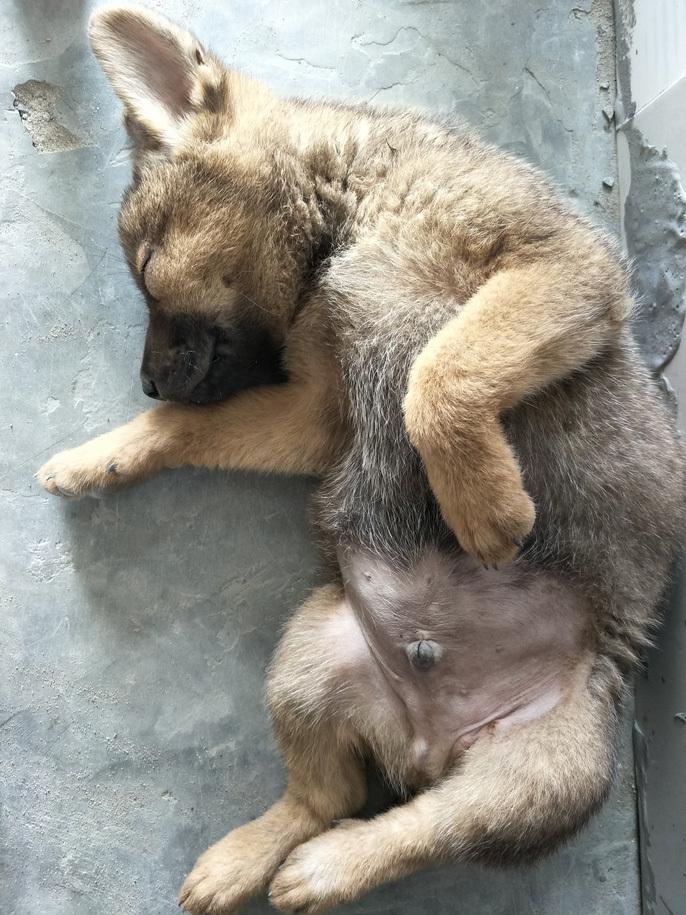 Nhiều người miền Tây mất ngủ vì chó cưng lăn ra chết hàng loạt