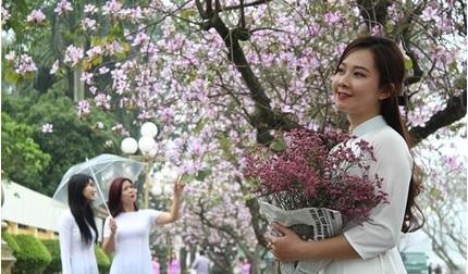 Hoa ban tím mê hoặc giới trẻ ở Hà Nội