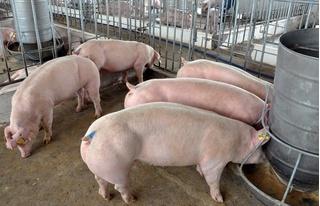 Xác nhận bệnh dịch tả lợn châu Phi tại Hưng Yên, Thái Bình