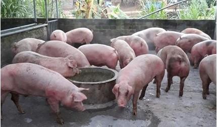 Giá heo (lợn) hơi hôm nay 20/2: Tiếp tục giảm do xuất hiện dịch tả lợn châu Phi ở miền Bắc