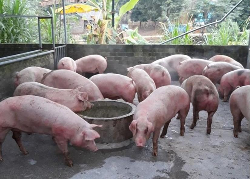 Giá heo (lợn) hơi hôm nay 20/2: Tiếp tục đà giảm do xuất hiện dịch tả lợn châu Phi ở miền Bắc