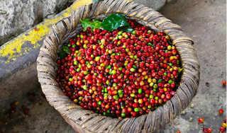 Giá cà phê hôm nay 22/2: Tiếp tục đà giảm 200 đồng/kg