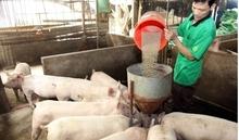 Giá heo (lợn) hơi hôm nay 23/2: Miền Bắc lao dốc, có nơi giảm tới 4 giá