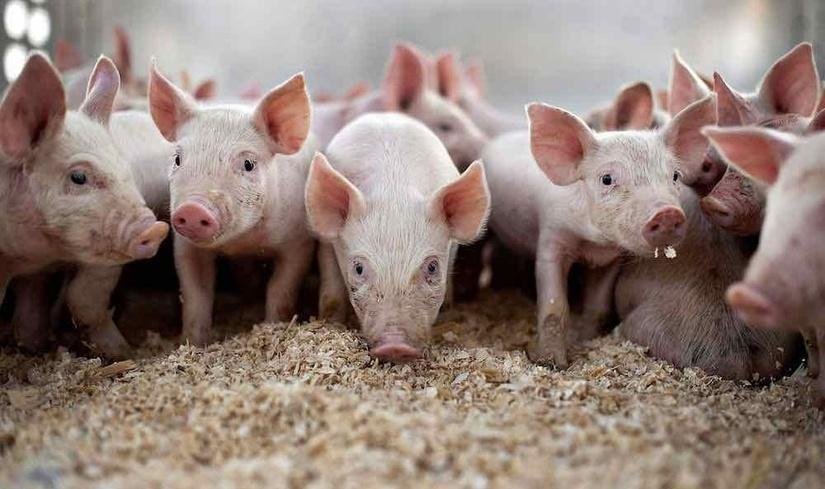 Giá heo (lợn) hơi hôm nay 29/3: Tăng nhẹ ở miền Bắc, dịch tả lợn châu Phai lan rộng ở miền Trung