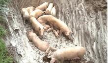 Phát hiện ổ dịch tả lợn châu Phi tại Hải Phòng