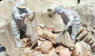 Thanh Hóa: Tiêu hủy 226 con lợn mắc dịch tả lợn châu Phi