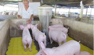 Giá heo hơi hôm nay 26/2: Dịch tả lợn châu Phi xuất hiện ở miền Trung, giá heo giảm sốc