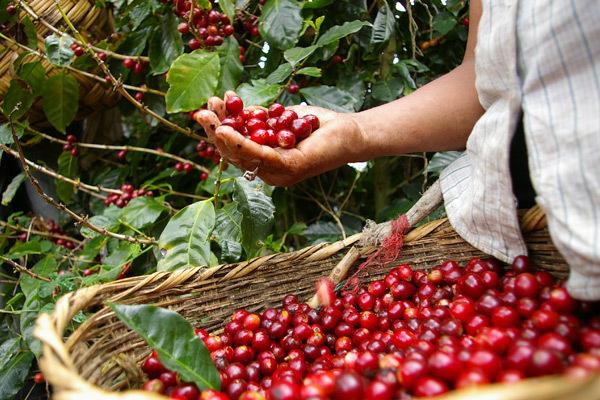 Giá cà phê hôm nay 26/2: Tăng phục hồi 200 đồng/kg ngay đầu tuần