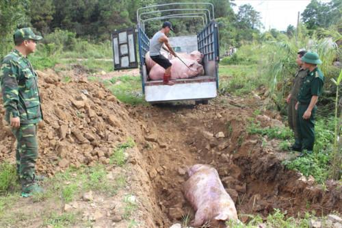 tiêu hủy lợn mắc dịch tả châu Phi