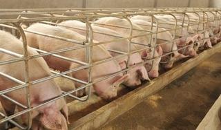 Giá heo (lợn) hơi hôm nay 3/3: 7 tỉnh có dịch tả lợn châu Phi khiến giá heo lao dốc