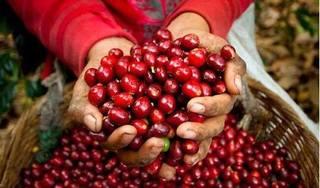 Giá cà phê hôm nay 4/3: Cà phê khu vực Tây Nguyên giả 100 đồng/kg