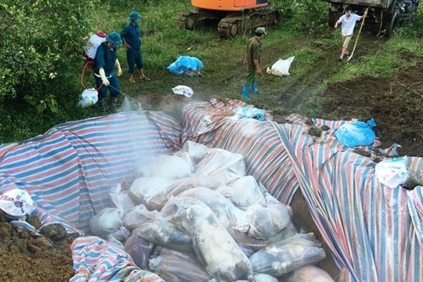 289 con lợn mắc bệnh dịch tả châu Phi bị tiêu hủy. Ảnh minh họa