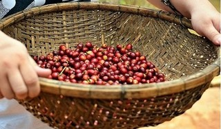 Giá cà phê hôm nay 5/3: Cao nhất ở tỉnh Đắk Lắk, 33.000 đồng/kg