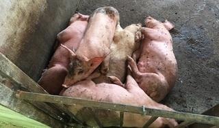 Hưng Yên: Hàng chục con lợn chết la liệt trong chuồng, nghi mắc dịch tả lợn châu Phi