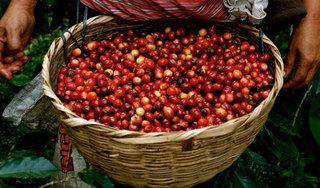 Giá cà phê hôm nay 11/8: Thấp nhất ở mức 31.900 đồng/kg
