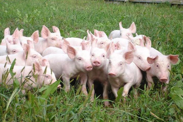 Giá heo hơi hôm nay 8/3: Ảm đạm trên cả nước sau khi địa phương thứ 10 công bố dịch tả lợn châu Phi