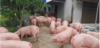 Giá heo hơi hôm nay 10/3: Dịch tả lợn châu Phi tiếp tục lan rộng, miền Bắc có nơi chỉ còn 39.000/kg