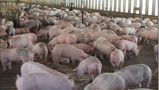 Giá heo (lợn) hơi hôm nay 11/3: Miền Bắc rớt thảm, miền Nam tiếp tục lao dốc