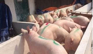 Giá heo (lợn) hơi hôm nay 12/3: Tiếp tục lao dốc, có nơi giảm tới 4.000 đồng/kg