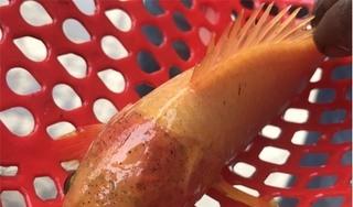 Kéo lưới bắt được cá rô toàn thân vàng óng kỳ lạ