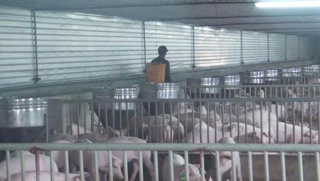 Dịch tả lợn châu Phi lan đến Nghệ An, Sơn La