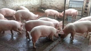 Giá heo (lợn) hơi hôm nay 15/3: Giảm sâu trên cả nước, có nơi chỉ còn 35.000 đồng/kg