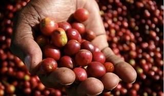Giá cà phê hôm nay 20/3: Tăng mạnh 400 đồng/kg sau nhiều ngày ảm đạm