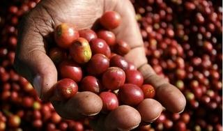 Giá cà phê hôm nay 10/8: Cuối tuần giá cà phê giảm nhẹ