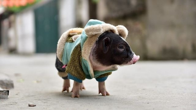 Lợn cảnh mini - thú cưng đang trở thành trào lưu ở Hà Nội