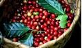 Giá cà phê hôm nay 20/5: Kỳ vọng giá cà phê sẽ tăng trở lại