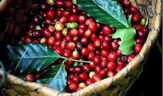Giá cà phê hôm nay 22/9: Giá cà phê ổn định vào cuối tuần