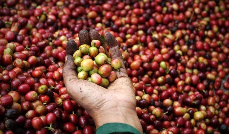 Giá cà phê hôm nay 26/5: Chốt tuần giá cà phê đạt 31.700 đồng/kg