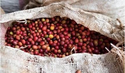 Giá cà phê hôm nay 18/8: Liên tục trồi sụt trong tuần qua