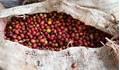 Giá cà phê hôm nay 29/3: Tiếp tục giảm 200 đồng/kg, dao động trong
