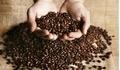 Giá cà phê hôm nay 28/3: Giá cà phê bất ngờ giảm 100 đồng/kg