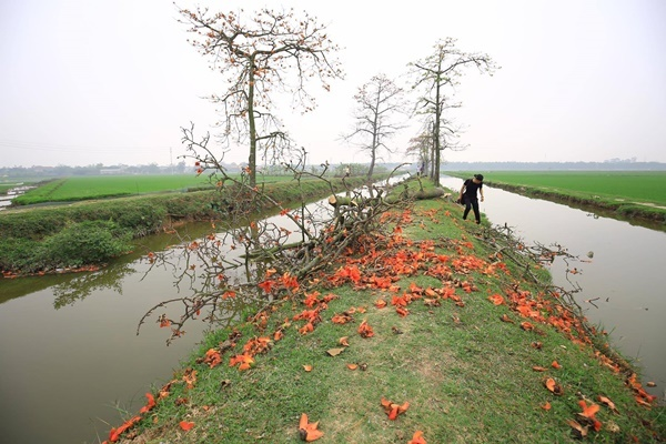 Hàng gạo trên kênh I486 ở thôn Đoài bất ngờ bị đốn hạ.