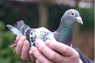 Đại gia bí ẩn vung 32 tỷ đồng chỉ để mua một con chim bồ câu