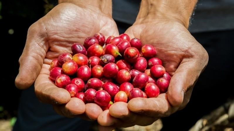 Giá cà phê hôm nay 18/9: Giảm 300 đồng/kg trên diện rộng