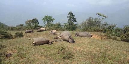Lào Cai: Một đàn trâu bị sét đánh chết trên đồi