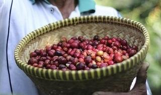 Giá cà phê hôm nay 11/10: Giảm nhẹ 100 đồng/kg trên toàn miền