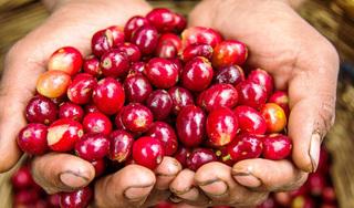 Giá cà phê hôm nay 25/9: Đi ngang sau phiên tăng trưởng