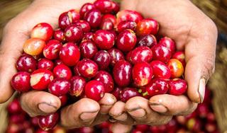 Giá cà phê hôm nay 5/4: Quay đầu giảm nhẹ 200 đồng/kg sau khi bất ngờ