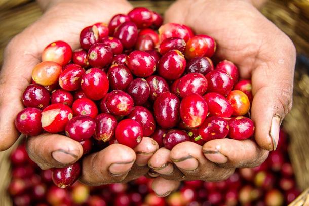 Giá cà phê hôm nay 5/4: Quay đầu giảm nhẹ 200 đồng/kg sau khi bất ngờ tăng vọt vào hôm qua